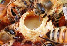 تولید ژل رویال اصل توسط زنبور