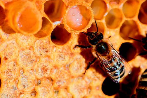 تولید ژل رویال توسط زنبور عسل